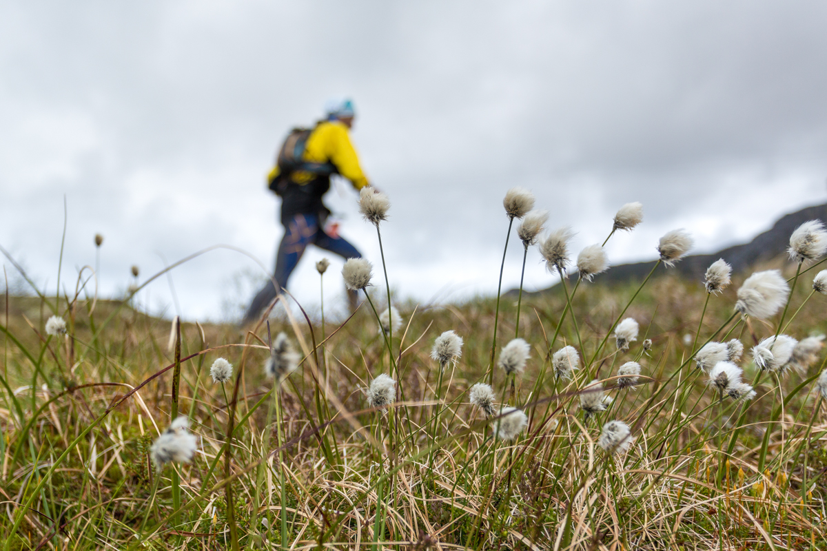 A runner in a field of wild cotton, during the 2016 Lofoten Ultra Trail.